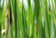 Free Reeds Background Royalty Free Stock Image - 3506156