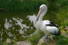 Free Lonely Pelican At The Pond. Stock Images - 3506294
