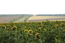Sunflowers And Road Stock Images