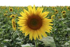 Free Sunflowers Royalty Free Stock Photo - 3506825