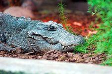 Free Crocodile Stock Photos - 3507073
