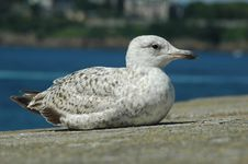 Free Gull Stock Photos - 3507623