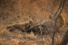 Free Hyena Feeding Cubs Royalty Free Stock Images - 3508869