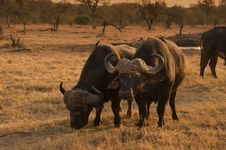 Free African Buffalo Stock Images - 3508894