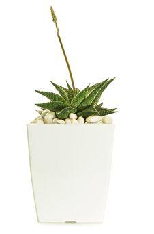 Free Little Cactus Royalty Free Stock Image - 35001326