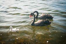 Free Swan Family Royalty Free Stock Image - 35002456