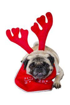 Free Beige Pug Wearing Christmas Attire 1 Royalty Free Stock Image - 35006156