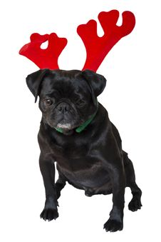 Free Black Pug Wearing Christmas Attire 5 Stock Image - 35006551