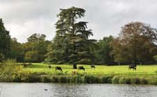 Grazing Cattle In An English Meadow Royalty Free Stock Images