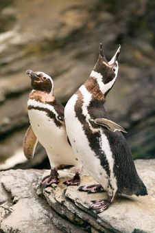 Two Penguins Over The Rocks Roaring. Stock Image