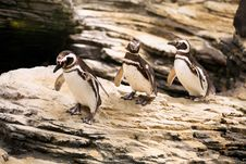Free Magellanic Penguins Walking On The Rocks Royalty Free Stock Images - 35017749