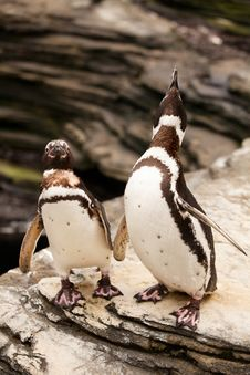 Free Two Penguins Roaring On The Rocks Stock Photos - 35017783