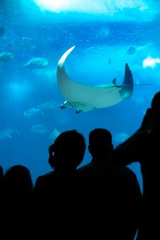 Free People Looking At Manta Ray In Aquarium. Stock Photography - 35017892