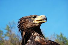Free The Bald Eagle Royalty Free Stock Image - 35021966