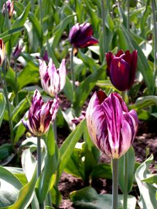 Free Tiger Tulips Royalty Free Stock Image - 35022066