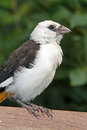 Free Weaver Bird Stock Photography - 35037262