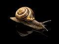 Free Garden Snail Stock Photo - 35039250
