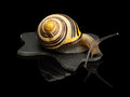 Free Garden Snail On A Leather Black Rag Stock Photography - 35039262