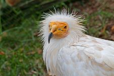 Free White Vulture Stock Images - 35037274