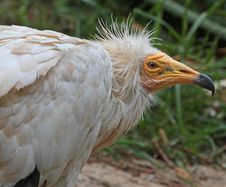 White Vulture Royalty Free Stock Photo