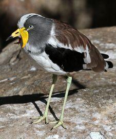 Free Lap Wing Bird Stock Photos - 35037623