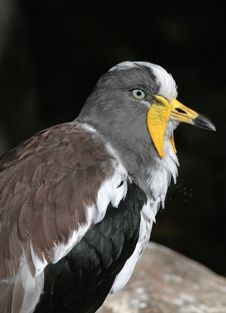 Free Lap Wing Bird Royalty Free Stock Photography - 35037637