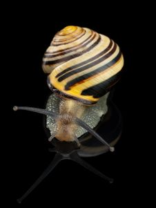 Free Garden Snail Stock Photo - 35039270