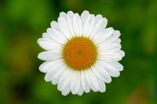 Free White Chamomile On Meadow Royalty Free Stock Photos - 35039518