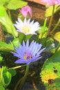Free Close Up Lotus Flower Stock Image - 35040761