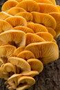 Free Colony Of Yellow Mushrooms On Tree Trunk Royalty Free Stock Photos - 35043168