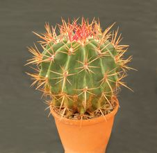 Free Cactus Plant. Stock Images - 35043254