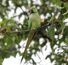 Free Parakeet Eating Cherry Stock Photos - 35045603