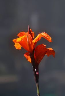 Free Orange Lily Stock Photography - 35047102