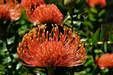 Free Pincushion Protea Stock Photo - 35047410