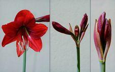 Free Amaryllis Collage Royalty Free Stock Image - 35047476