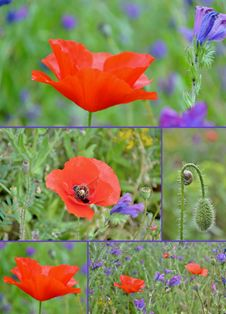 Free Poppy Collage Stock Photos - 35047843