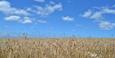 Free Wheat Field Royalty Free Stock Photography - 35048027