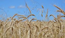 Free Wheat Field Royalty Free Stock Photography - 35048137