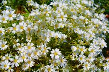 Free Little White Flowers Stock Photography - 35049822