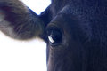 Free Black Calf - Close-up Stock Image - 35051331