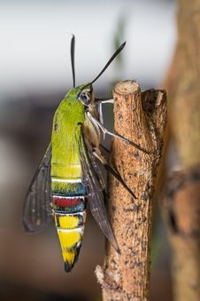Free Pellucid Hawk Moth Stock Images - 35051084