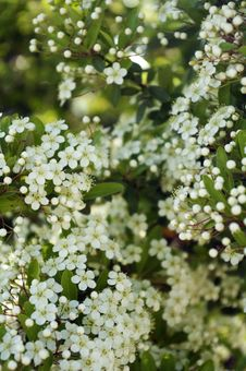 Free Little White Flowers Royalty Free Stock Photography - 35051297