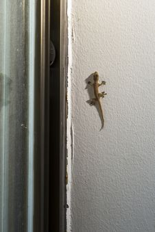 Free Gecko On The Wall Stock Images - 35051324