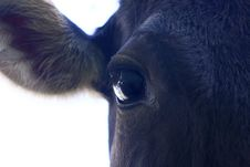 Black Calf - Close-up Stock Image