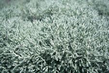 Free Silver Green Soft Garden Plant Stock Images - 35052434