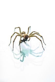 Free Yellow Spider Stock Photography - 35054172