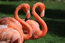 Free Flamingos Stock Images - 35054624