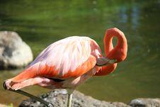 Free Flamingo Royalty Free Stock Photos - 35054638