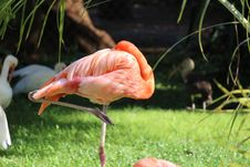Free Flamingo Royalty Free Stock Photography - 35054667