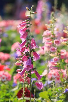 Colorful Foxglove Flowers Royalty Free Stock Image